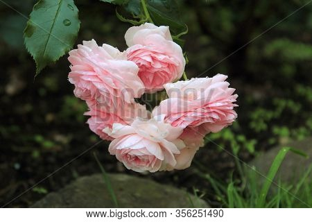 A lot of big pink roses with drops of water after rain closeup. Pink roses bushes blooming on the road in garden. Beautiful bouquet of pink roses. Care of garden roses bushes
