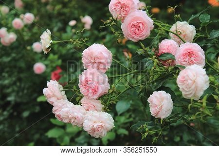 A lot of small pink roses on bush closeup in sunset garden. Pink roses bushes blooming on the road. Beautiful bouquet of roses. Care of garden roses bushes