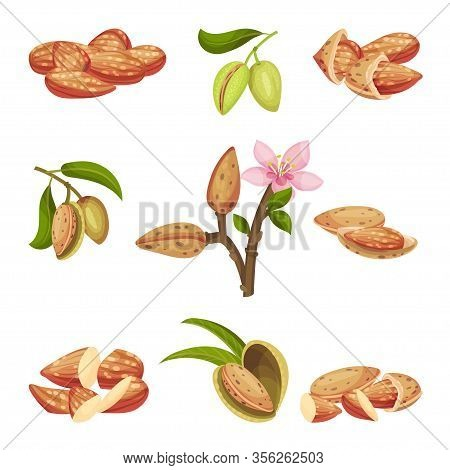 Almond Kernel With Nutshell And Without Vector Set. Organic Food Ingredient