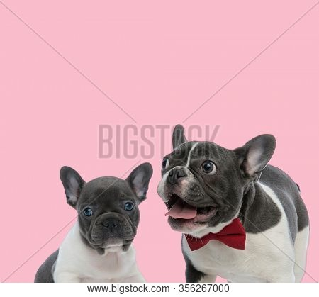 team of two french bulldogs panting and wearing red bowtie on pink background