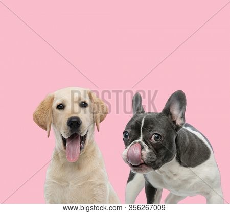 team of labrador retriever and french bulldog panting and licking nose on pink background