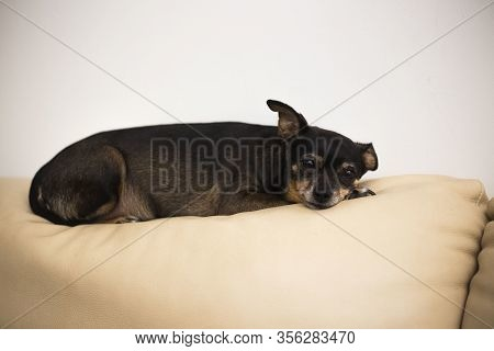 Old Toy Terrier Have A Rest. A Small Purebred Dog. Domestic Pet.