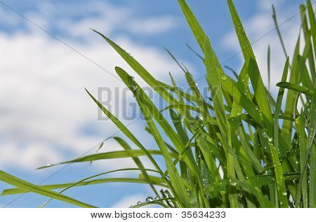 Green Grass With Drops Of Water On The Blue And White Backround