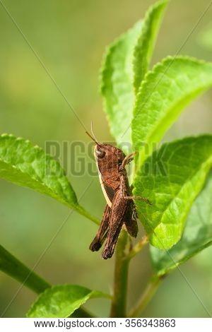 Little Grasshopper In Grass. Macro Shot Of Grasshopper