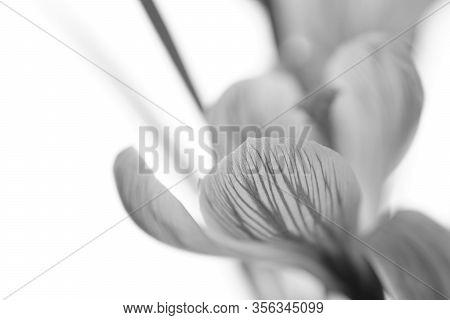 Crocus Flower Head. Side View On Bright Background. Bw Photo.