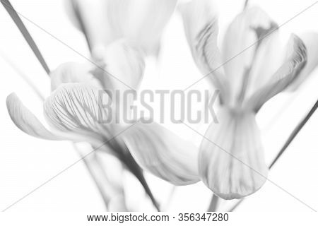 Crocus Flowers Bouquet. Side View On Bright Background. Bw Photo.