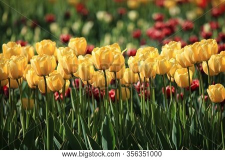 Group (line) Of Blossoming Yellow Tulips (tulipa L) In City Garden. Spring And Warm Landscape With B