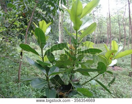 Green Small Calophyllum Inophyllum (tamanu, Beach Touriga, Borneo-mahogany, Ball Tree, Mast Wood, Be