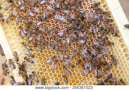 Close Up View Of Working Bees On Honeycomb With Sweet Honey.
