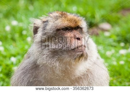 Barbary Macaque Monkey.  A Close Up Picture Of A Barbary Macaque Monkey.  The Monkeys Live In The At
