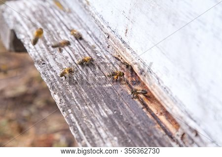 Swarming Bees At The Entrance Of White Beehive In Apiary..