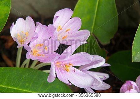 Purple Autumn Crocus Flower, Known As Colchicum Autumnale, Meadow Saffron, Or Colchicaceae.  Stunnin