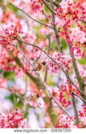Flying Humming Bird Eating Flower Nectar From A Cherry Blossom Tree.