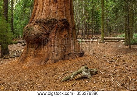 Giant Redwood, Sequoias Located At The Sequoia National Park, California, Usa.