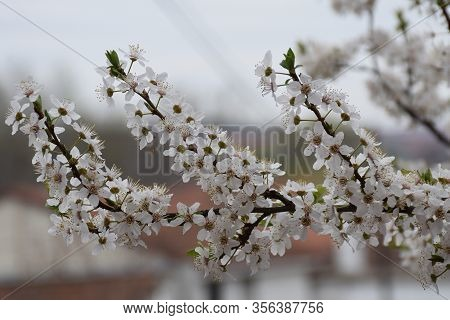 White Petals With Anthers. White Flowers Of Flowering Fruit.