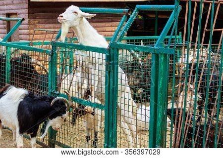Goats In A Pen In A Farmyard