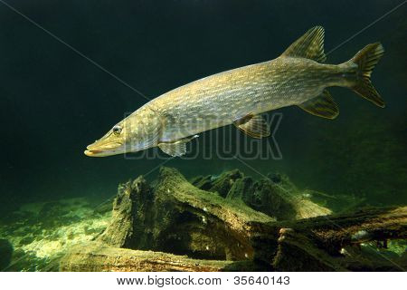 Underwater photo of a big Pike (Esox Lucius). Close up with shallow DOF.