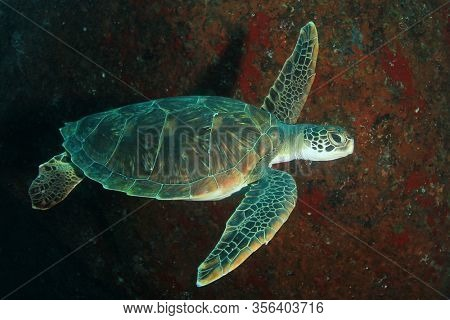 Green Sea Turtle underwater on coral reef