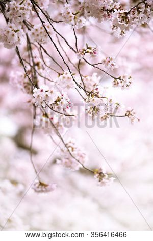 Cherry blossom in full bloom. Delicate cherry tree branches hanging beneath a tree with blooming flowers. Japanese Yoshino cherry trees.