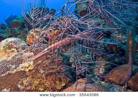 A trumpetfish uses soft corals as camouflage poster