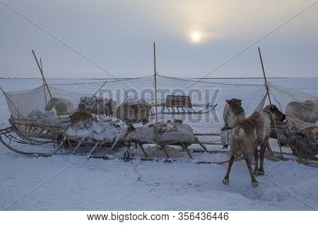 Tundra, The Extreme North, The Extreme North, Reindeer In Tundra, Deer Harness With Reindeer.