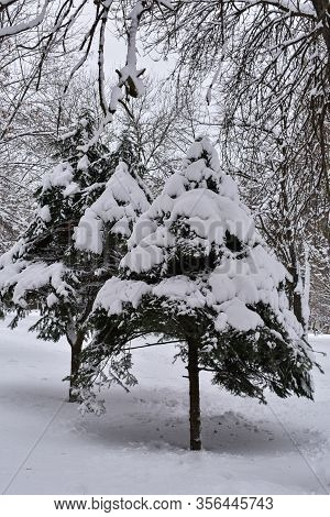 Fir Trees In The Snow. Trees Under A Thick Layer Of Snow.