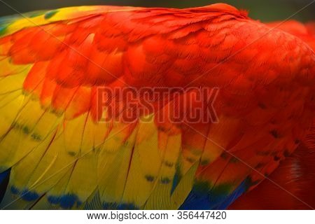 The Scarlet Macaw Feather Is A Large, Red, Yellow And Blue South American Parrot, A Member Of A Larg