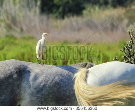 Cattle Egret, Bubulcus Ibis, Standing On A Horse By Day, Camargue, France
