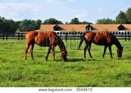 two horses grazing on a farm by the stables poster
