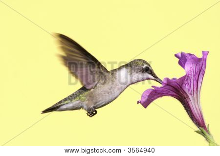 Juvenile Ruby-throated Hummingbird (archilochus colubris) in flight with a flower poster