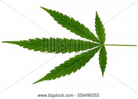 Green Cannabis Leaves Isolated On On White Clipping Path Background. Growing Medical Marijuana. Mari