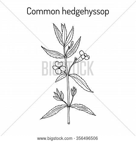 Gratiole, Common Hedgehyssop, Herb Of Grace Gratiola Officinalis , Medicinal Plant. Hand Drawn Botan