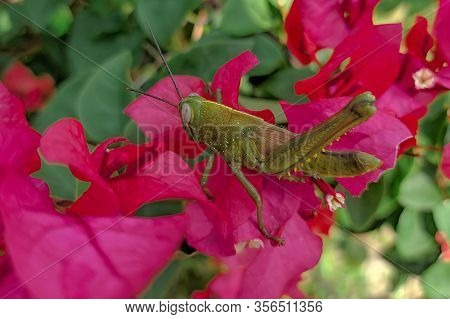 Rice Grasshoppers - Close Up Detail Of Green Grasshopper, Grasshopper Above The Flower