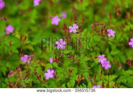 Close Up Flowers Of Geranium Robertianum Plant