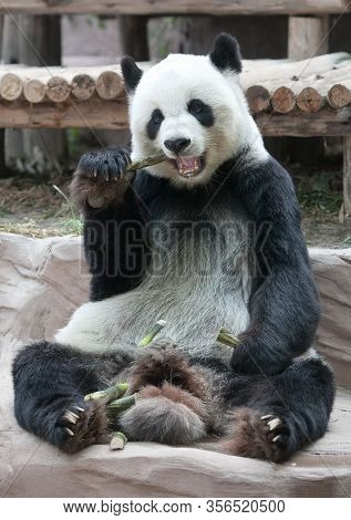 Chinese Tourist Symbol And Attraction - Giant Panda Bear Eating Bamboo. It Is A Bear Native To South