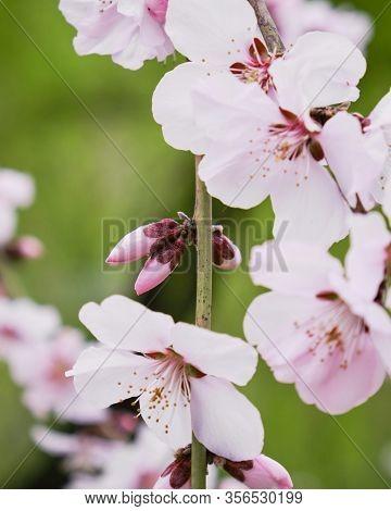 Black Cherry Plum (prunus Cerasifera ) Buds And Flowers - Close Up.