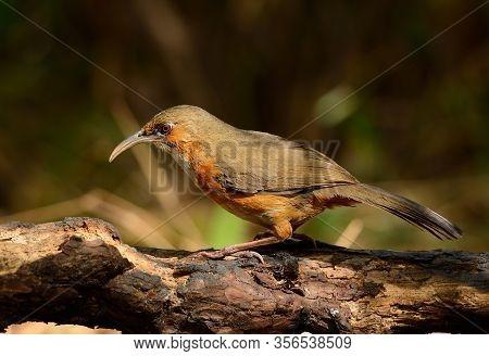 Beatiful Rusty-cheeked Scimitar-babbler (pomatorhinus Erythrogenys) Possing On The Branch