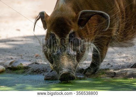 Portrait Of A Red River Hog Drinking Water In The Shadows