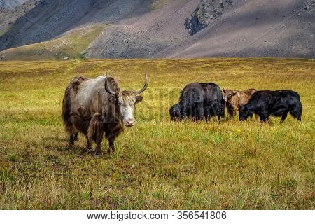 Yak-tibetan Cow. Yaks Graze In A Mountain Valley. Yak Is Farm An D Caravan Animal In Nepal And Tibet