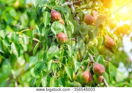 Pears Weigh On A Pear Tree, Twigs And Leaves. Healthy Organic Pears. Juicy Flavorful Pears Of Nature