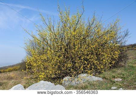 A Flowering Cornelian Cherry Dogwood (cornus Mas) On A Sunny Day In Springtime
