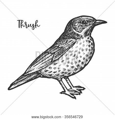 Hand Drawn Thrush Or Turdidae Animal Sketch.