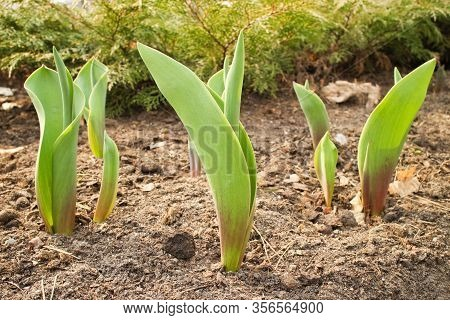 Young Small Tulip Sprouts Growing Early Spring In The Park, Theme Of Working In The Garden, Jobs Wit