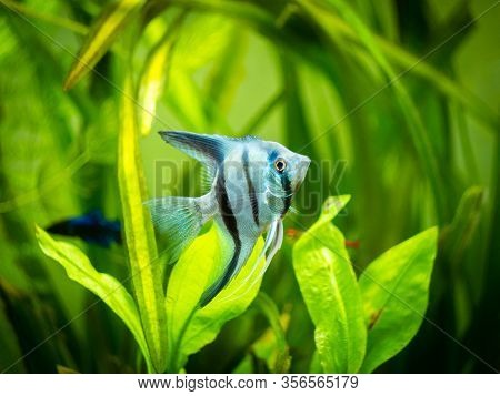 Portrait Of A Zebra Angelfish In Tank Fish With Blurred Background (pterophyllum Scalare)