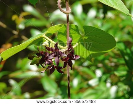 Also Known As The Florida Spiny Pod, This Florida Milkvine Is Endangered In The State. A Plant In Th
