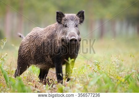 Alert Wild Boar Looking Into Camera On Green Glade In Summer