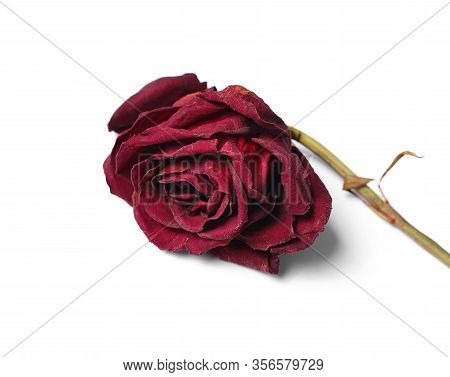 Dead Red Rose On A White Background