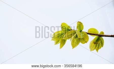 A Branch Of A Kaki Persimmon Bush With Young Foliage, Green Leaves. Isolated On White Background