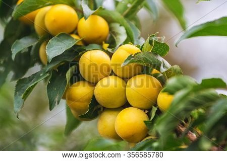 Yellow Cherry Plum Fruits On The Tree During Ripening