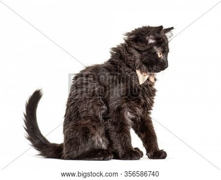 Black Kitten Crossbreed cat wearing a bow tie, isolated on white